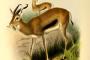 In Eritrea è tornata una gazzella in via d'estinzione
