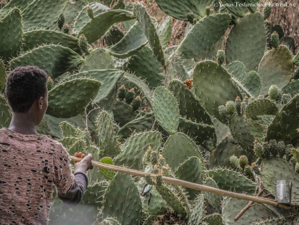 Eritrea raccolta di beles